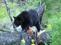 The black bear.png