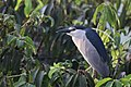 The black crowned night heron(Nycticorax nycticorax.jpg
