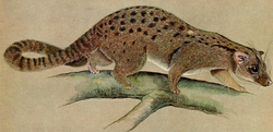 The carnivores of West Africa (Nandinia binotata).png