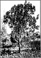 The indigenous trees of the Hawaiian Islands (1913) (20103346244).jpg