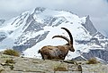 The rock goat and the Gran Paradiso (14297027958).jpg