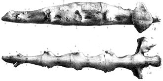 Hastings Beds - Thecospondylus horneri