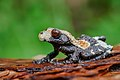 Theloderma albopunctatum - Nam Nao National Park (30208204365).jpg