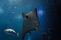 Thornback ray (26673799628).jpg