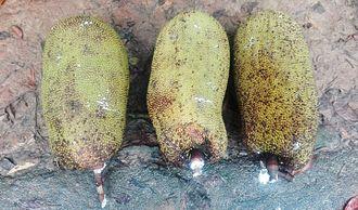 Tangail District - Jackfruit, modhupur Tangail