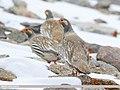 Tibetan Snowcock (Tetraogallus tibetanus) (48096022716).jpg