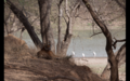 Tiger in Ranthambore 16.png