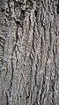 Tilia Argentea bark - 3.jpg