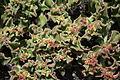 Tinajo El Cuchillo - Lugar de Cuchillo (Caldera) - Mesembryanthemum crystallinum 01 ies.jpg