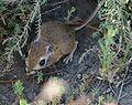 Tipton kangaroo rat (Dipodomys nitratoides nitratoides).jpg