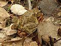 Toads keichwa 02.jpg