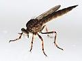 Tolmerus cf cingulatus 7044.jpg