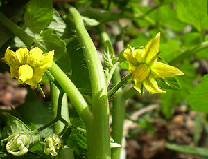Tomato flowers