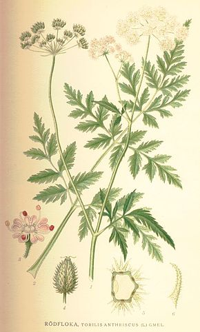 Description de l'image Torilis japonica.jpg.