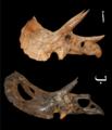 Torosaurus and Triceratops-ar.tiff