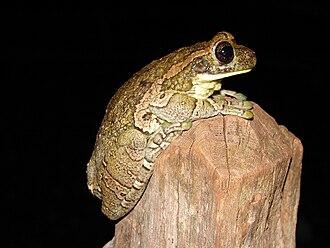 Veined tree frog - Image: Trachycephalus venulosus 01a