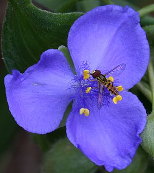 Tradescantia virginiana - Open flower with a Toxomerus sp. hoverfly feeding