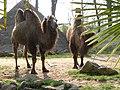 Trampeldéier Camelus bactrianus.JPG