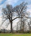 Tree - Scandiano (RE) Italy - December 12, 2010 - panoramio (1).jpg