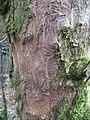 Tree Bark - geograph.org.uk - 118306.jpg