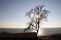 Tree at the Kaspy sea.jpg