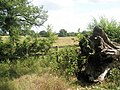 Tree root on the footpath between Northcroft Lane and The Sun - geograph.org.uk - 1361689.jpg