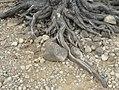 Tree roots over rocks, Great Sacandaga Lake (2008).jpg