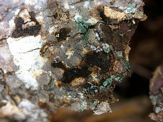 Trichoderma - Trichoderma colony in nature