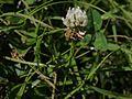 Trifolium repens (6364945691).jpg