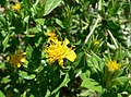 Trixis californica flower 1.jpg