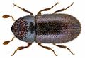 Trypophloeus binodulus (Ratzeburg, 1837) Syn.- Trypophloeus asperatus Gyllenhal, 1813; Cryphalus asperatus (Gyllenhal, 1813); Cryphalus abietis (Gyllenhal, 1813) (15336255321).png