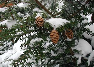 Tsuga - Tsuga diversifolia foliage and cones in snow