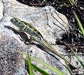 Tubercle-nosed Chameleon green.JPG
