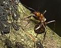 Tuberolachnus with ant c2014-08-30 12-08-41ew.jpg