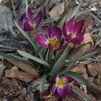 Tulipa humilis Persian Pearl1
