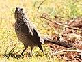 Turdoides jardineii -Pretoria, South Africa-8.jpg