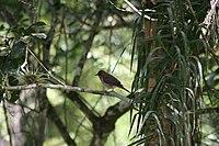 Turdus amaurochalinus
