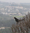 Turdus merula (male)-Jerusalem Mountains.jpg
