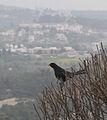 Turdus merula (male)-Jerusalem Mountains.jpg