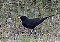 Turdus merula - Common blackbird 01.jpg