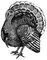 Turkey (bird) - B&W drawing.jpg