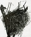 Turnagra capensis nest.jpg