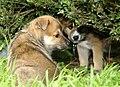 Two German Shepherd puppies.jpg
