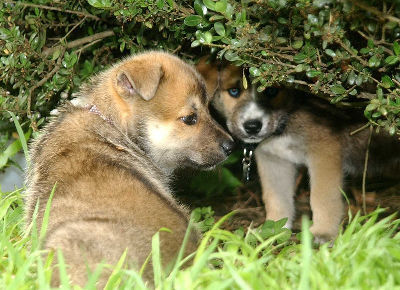 File:Two German Shepherd puppies.jpg