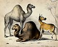 Two camels and a wild ass before palm trees. Coloured chalk Wellcome V0020465.jpg