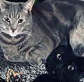 Two house cats, grey tabby and all black.jpg