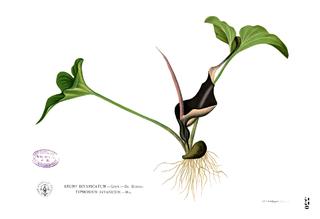 <i>Typhonium</i> genus of plants