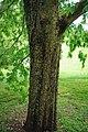 Ulmus parvifolia Kings choice trunk.jpg