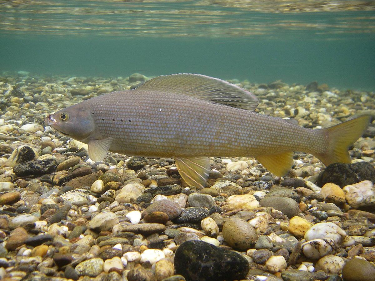 Arctic grayling wikipedia for Alaska freshwater fish