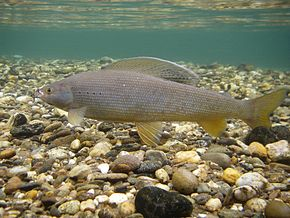 Description de l'image  Underwater_Arctic_Grayling.jpg.